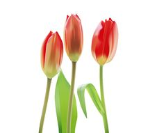 Beautiful Tulips Stock Photography
