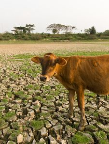 Free Cow And Cracked Earth Stock Photos - 23005953