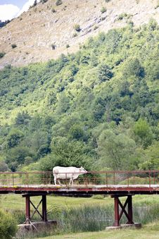 Free White Cow On The Bridge Royalty Free Stock Photos - 23007418