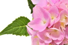 Free Pink Hydrangea Flowers With Green Leaves Royalty Free Stock Photos - 23008018