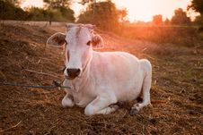 Indian White Cow In Farmland Stock Photography