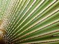 Free Bismarck Palm Leaves Background Stock Images - 23017394