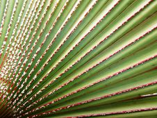 Free Bismarck Palm Leaves Background Stock Images - 23017394
