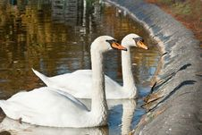 Free Swans Stock Images - 23018064