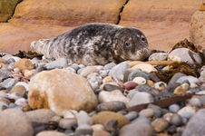 Free Harbour Seal Royalty Free Stock Image - 23024846