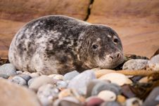 Free Harbour Seal Close Up Royalty Free Stock Photography - 23024847