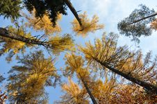 Free Larch In Autumn Royalty Free Stock Photo - 23026465