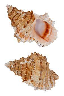 Free Seashell Stock Photos - 23028903