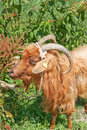 Free Photo Of Ginger Goats. Stock Images - 23038004