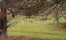 Fallow Deer In An English Park Royalty Free Stock Photography