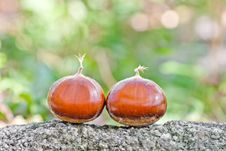 Free Chestnut In Nature Stock Image - 23031391