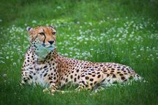 Cheetah Lying In A Grass Stock Image