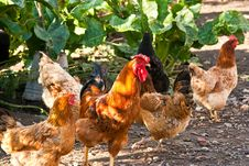 Cock And Hens Walking On Rural Yard Royalty Free Stock Images