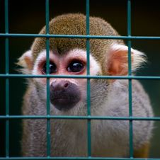 Free Little Squirrel Monkey Behind Bars Royalty Free Stock Photos - 23034538