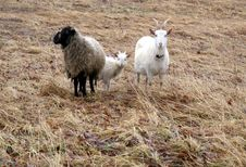 Free A Sheep, A Goat And A Lamb Stock Photos - 23036053