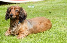 Free Alert Sausage Dog Royalty Free Stock Photos - 23041818
