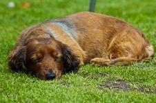 Free Sausage Dog Royalty Free Stock Photo - 23041835