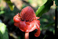 Free Red Torch Ginger Flower, Mexico Royalty Free Stock Photography - 23055617