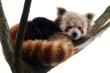 Free Red Panda On A Tree Branch Royalty Free Stock Images - 23051299