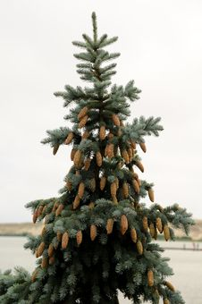 Silver Fir With Cones Stock Photo