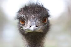 Free Emu Royalty Free Stock Image - 23060696