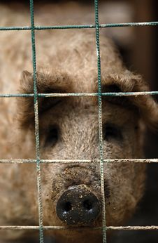 Free Sad Pig Stock Photo - 23061680