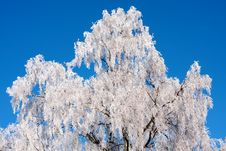 Free Frozen Birch Tree Stock Photography - 23062502