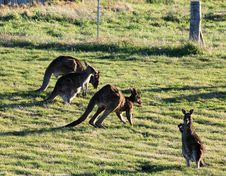 Free Kangaroos Grazing Stock Photography - 23068372