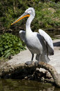 Free Looking Pelican Royalty Free Stock Photos - 23075698