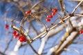 Free Red Viburnum Berries In Winter Royalty Free Stock Photo - 23078115