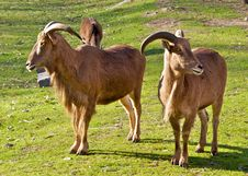 Free Mountain Goats. Royalty Free Stock Image - 23075506