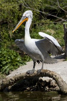 Pelican With Outspread Wings Royalty Free Stock Images