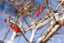 Free Red Viburnum Berries In Winter Royalty Free Stock Photo - 23078115