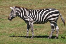 Free Zebra Portrait Royalty Free Stock Photos - 23080258