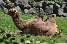 Free Camel Portrait Stock Image - 23081041