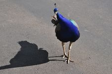 Free Urban Peacock Royalty Free Stock Image - 23081046