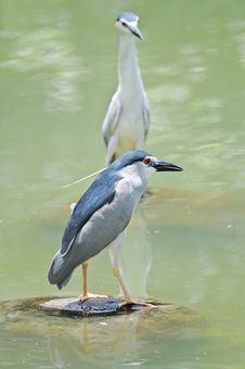 Free Black-crowned Night-Heron Royalty Free Stock Images - 23081259