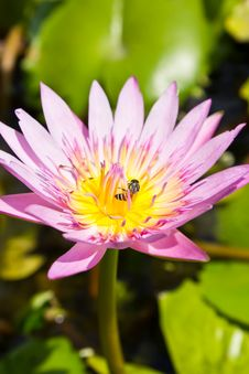 Free Pink Lotus Flower With Bee Stock Photos - 23081463