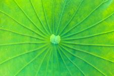 Free Lotus Leaf Stock Photos - 23081723