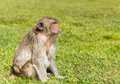 Free Macaque Monkey Stock Photography - 23093572