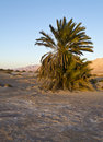 Free Dunes And Palms In The Arava Valley, Israel Stock Photo - 23098940