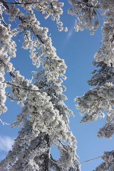 Snowy Branches Stock Image