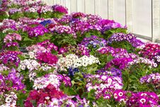 Free Cineraria Flowers Royalty Free Stock Image - 23093566