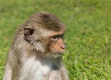 Free Macaque Monkey Stock Photography - 23093702