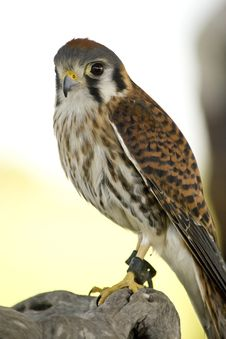 Free American Kestrel Stock Images - 23094094