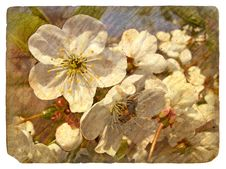 Old Postcard With A Few Cherry Blossoms.