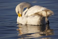 Free Whooper Swan Stock Images - 23096244