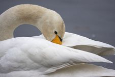 Free Whooper Swan Stock Photography - 23096492