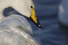 Free Whooper Swan Stock Images - 23096534