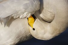 Free Whooper Swan Royalty Free Stock Photo - 23096575